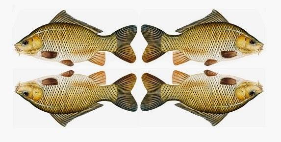 Kandungan Gizi Dan Manfaat Ikan Mas