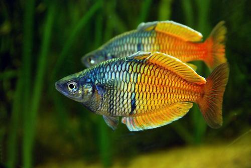 Boeseman the rainbowfish the life of animals for Large peaceful community fish