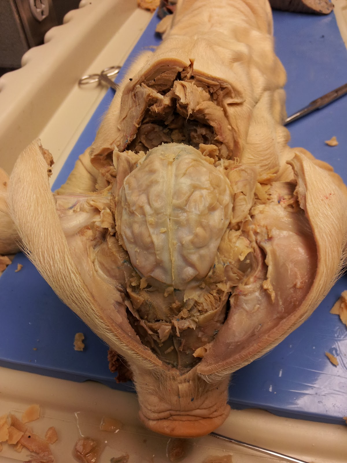 Diagram Of Pig Brain And Skull - Auto Electrical Wiring Diagram •