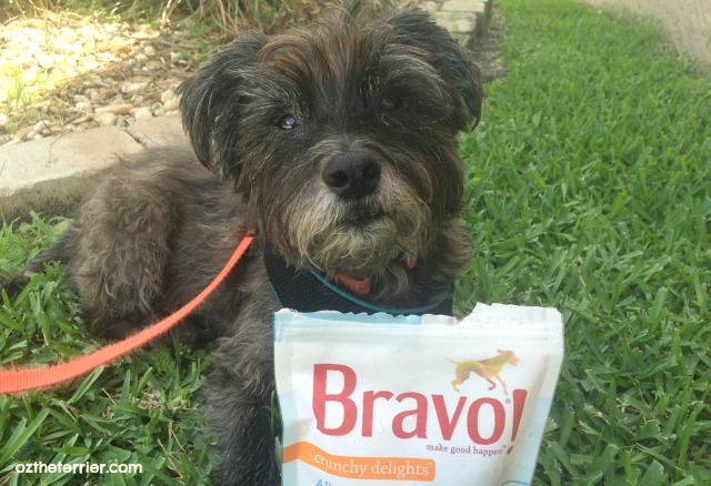 Oz the Terrier with some Crunchy Delights treats from Bravo Pet Foods
