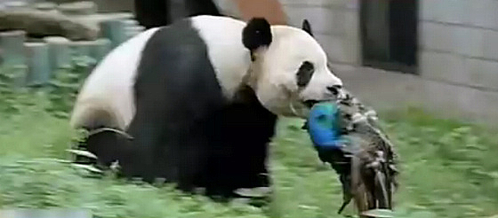 dangerous panda eating peacock