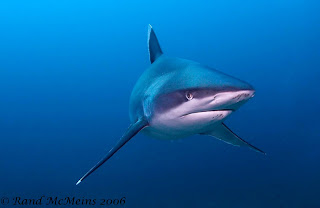 silver tipped shark  www.greenwaterimages.com