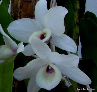 Dendrobium, Dendrobium nobile