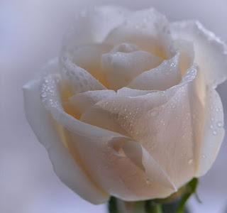 rosa en fotografia para regalar