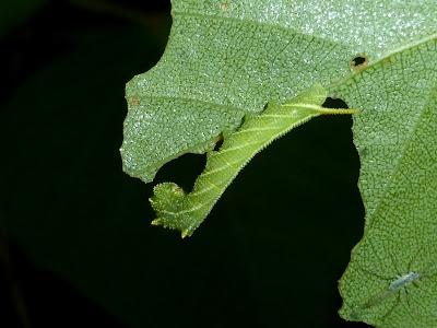 Ceratomia amyntor caterpillar