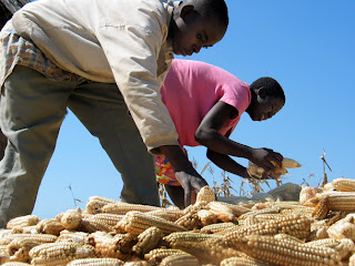 South Africa will maize harvest below world experts estimation