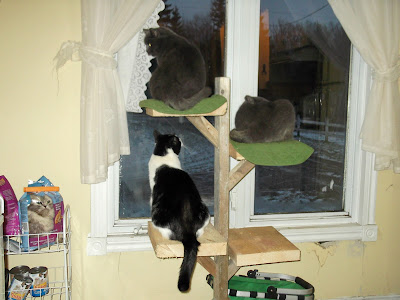 The two grey dairy cats and Molly on the cat tree