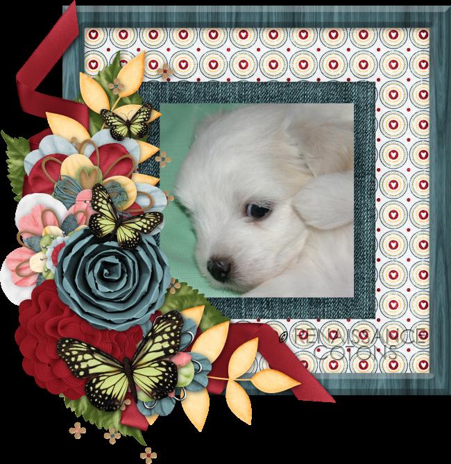 Renaissance Coton de Tulear Puppy