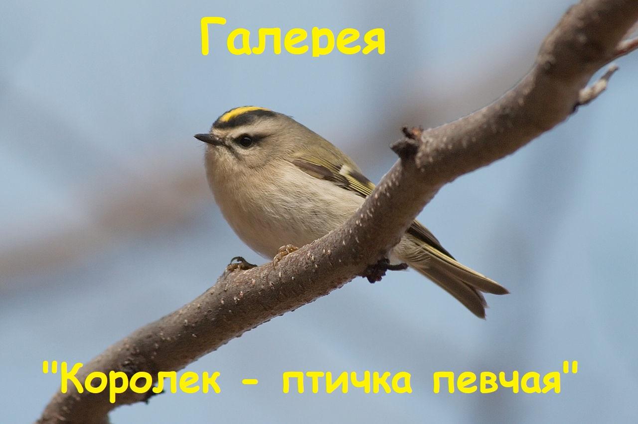 Королек - птичка певчая