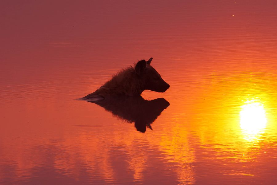 24. Hyena Silhouette by Hari Santharam
