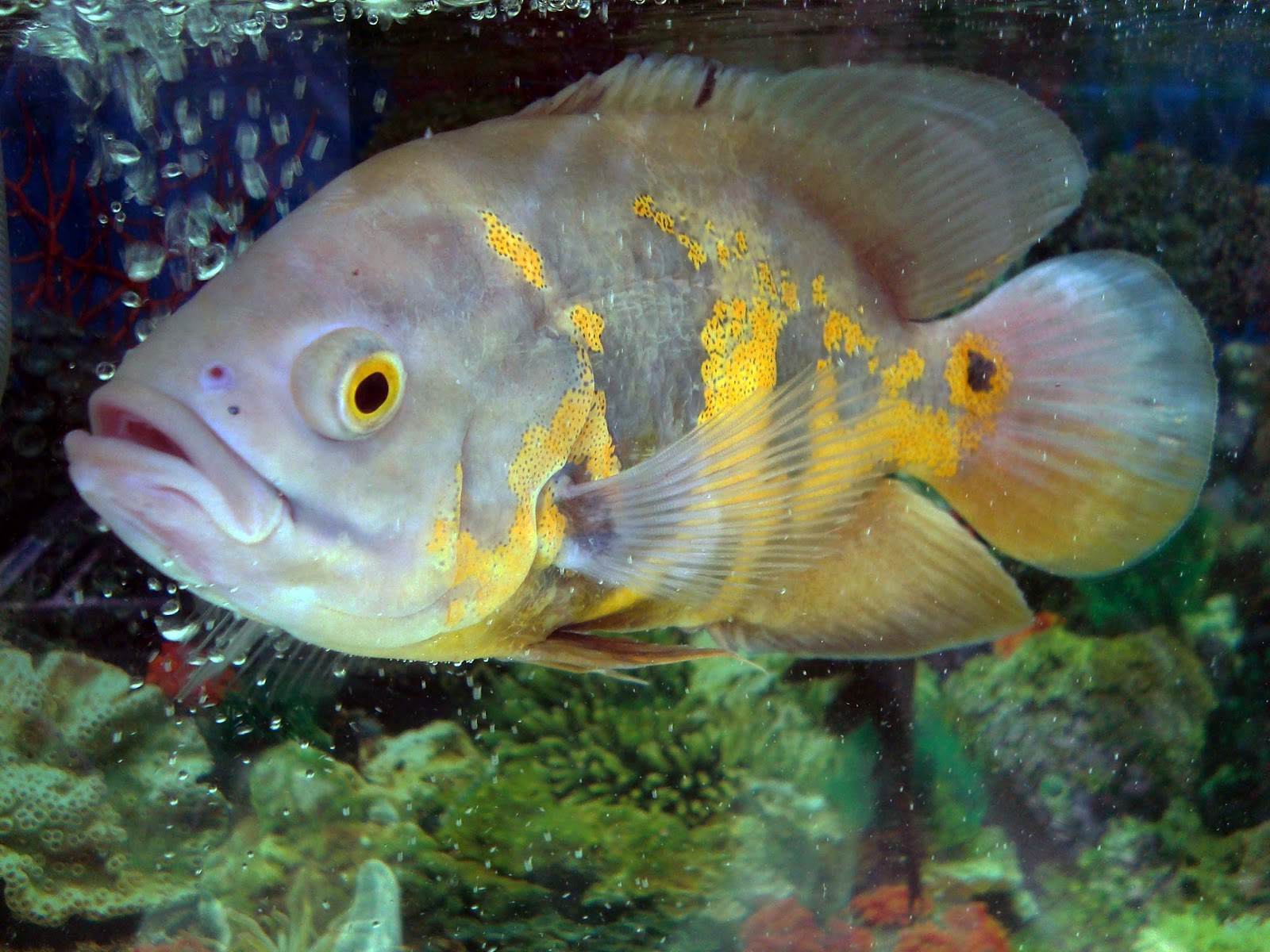 1291000 as well Watch together with Oscar Fish Teeth furthermore Watch additionally Green Moray Eel. on huge oscar fish