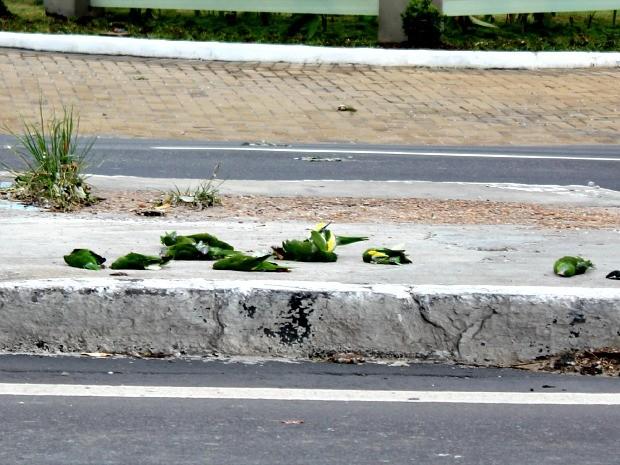 Pássaros mortos estavam na via e no meio-fio da avenida (Foto: Diego Toledano/G1 AM)