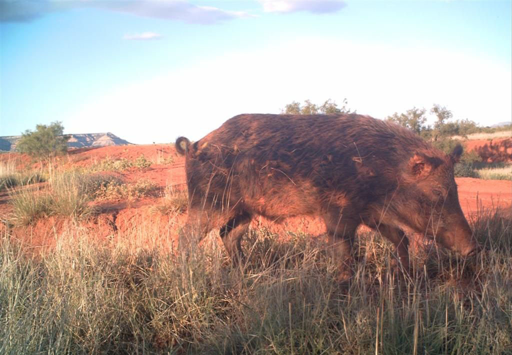 Wild Hogs Grow Large Are Aggressive And Look Like A Domestic Pig Gone Wild