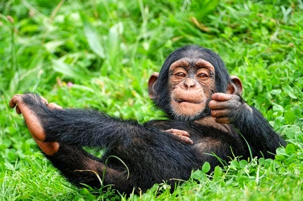 Here Are 24 Awesome Things You Didn't Know About Animals. #11 Just Made My Week. - Chimp babies like playing with dolls