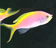 yellow tail Bartletts anthias