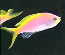 All About Aquarium Fish: Bass Anthias as Reef Tank Addition