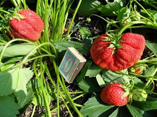 Первые ягодки клубники