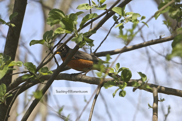 Adult Robin in tree