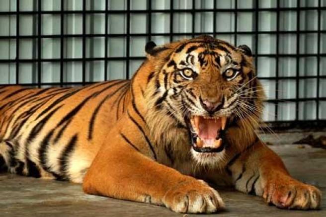 Yuk Awasi Perdagangan Harimau di Internet