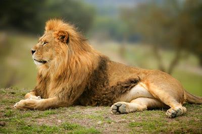 Imponente león salvaje esperando su comida - Wild lion