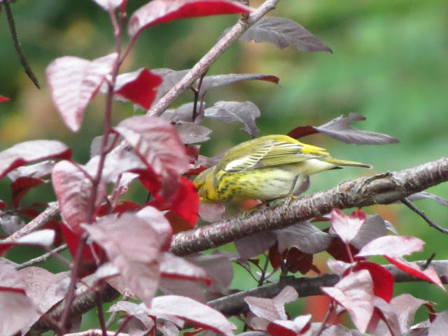 cape may warbler three