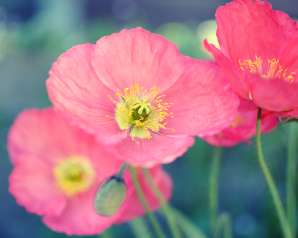 Garden by the sea photography blog by lupen grainne colors of colors of summer poppy flowers mightylinksfo