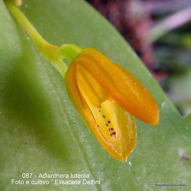 Pleurothallis luteola,Specklinia luteola,Pleurothallis fragilis,Humboldtia fragilis,Pleurothallis caespitosa,Pleurothallis subcordifolia