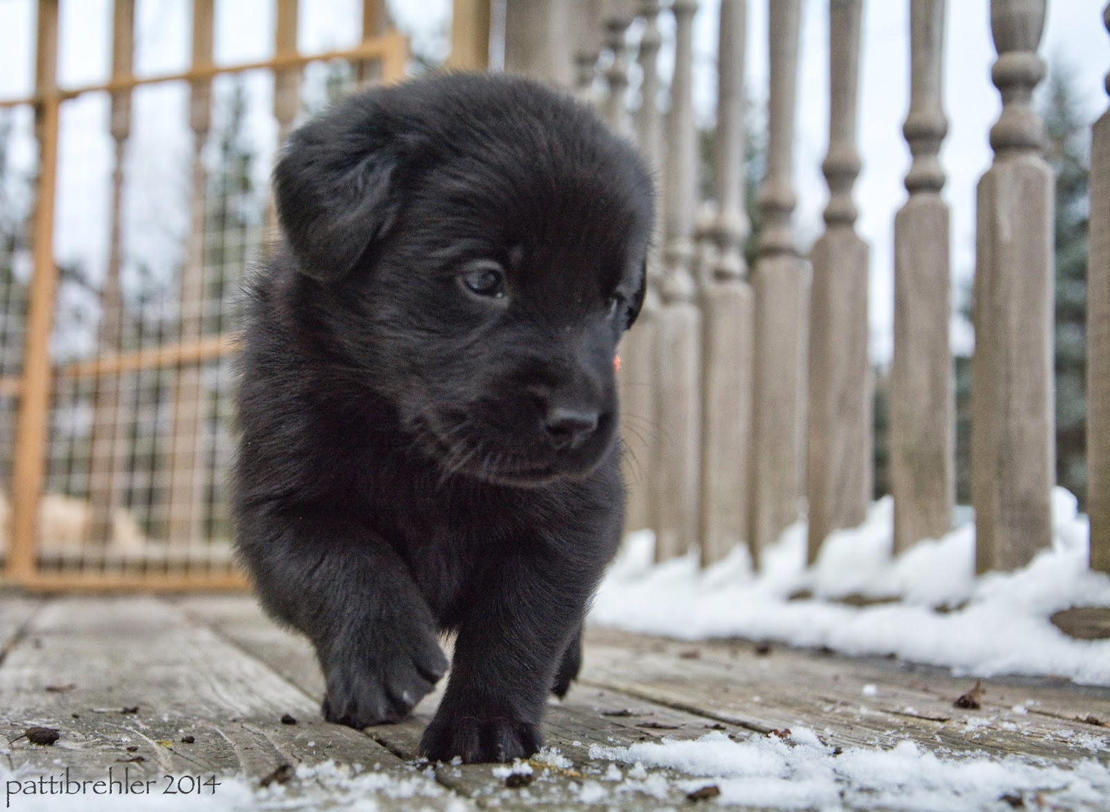 A small black lab/golden mix puppy is walking toward the camera, the puppy is looking away to the right. The puppy is walking on a wooden deck that has some snow on it. Behind the puppy are rungs of a railing.