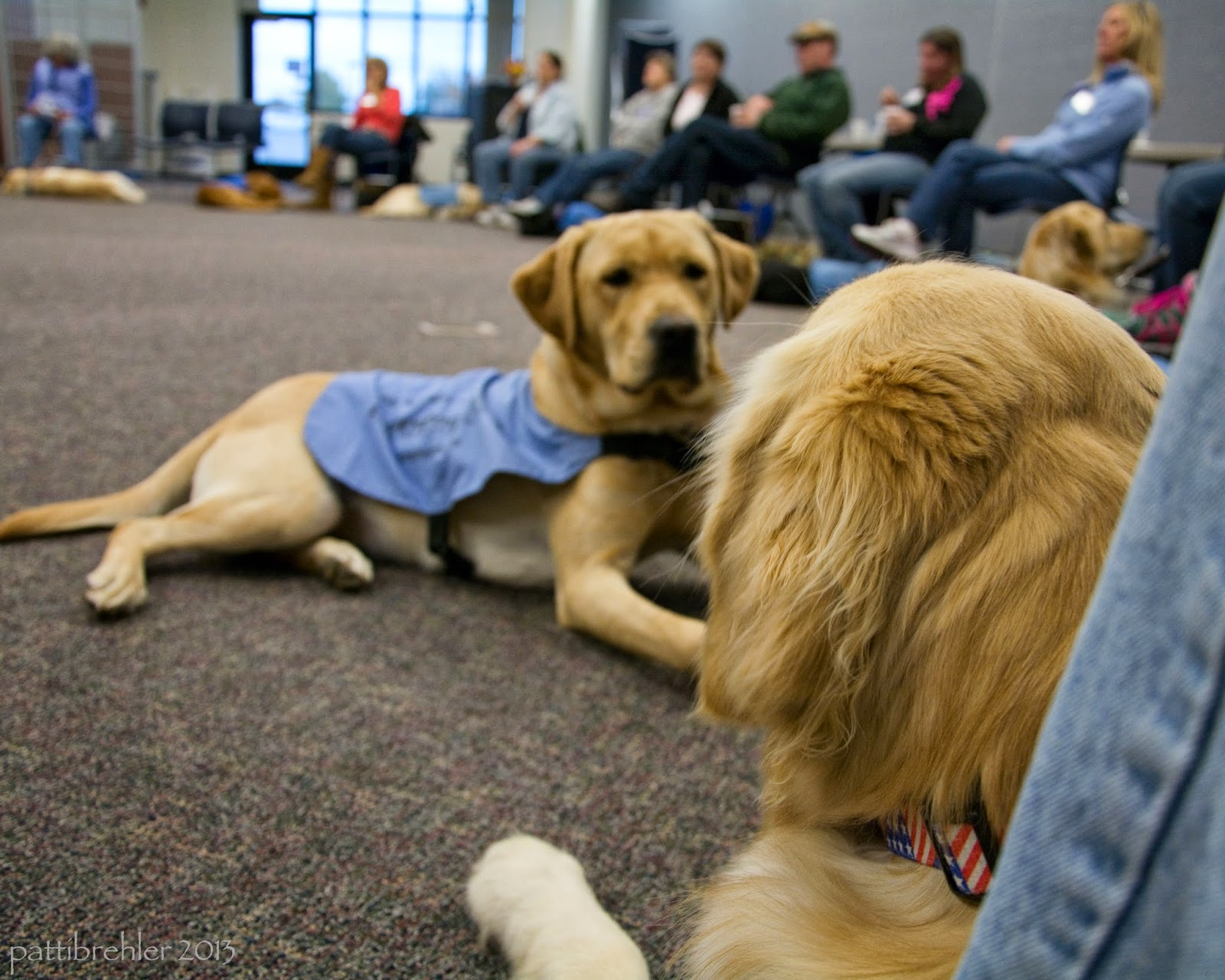 A ground level shot over the head of a gold retriever that is lying on the floor looking away from the camera. You can only see the back of his head, and part of someone's leg on the right. A yellow lab is lying down in front of the golden, facing the camera. He is wearing a baby blue working jacket. Our of focus in the background are at least eight puppy raisers sitting in folding chairs with their puppies lying down on the floor in front of them.