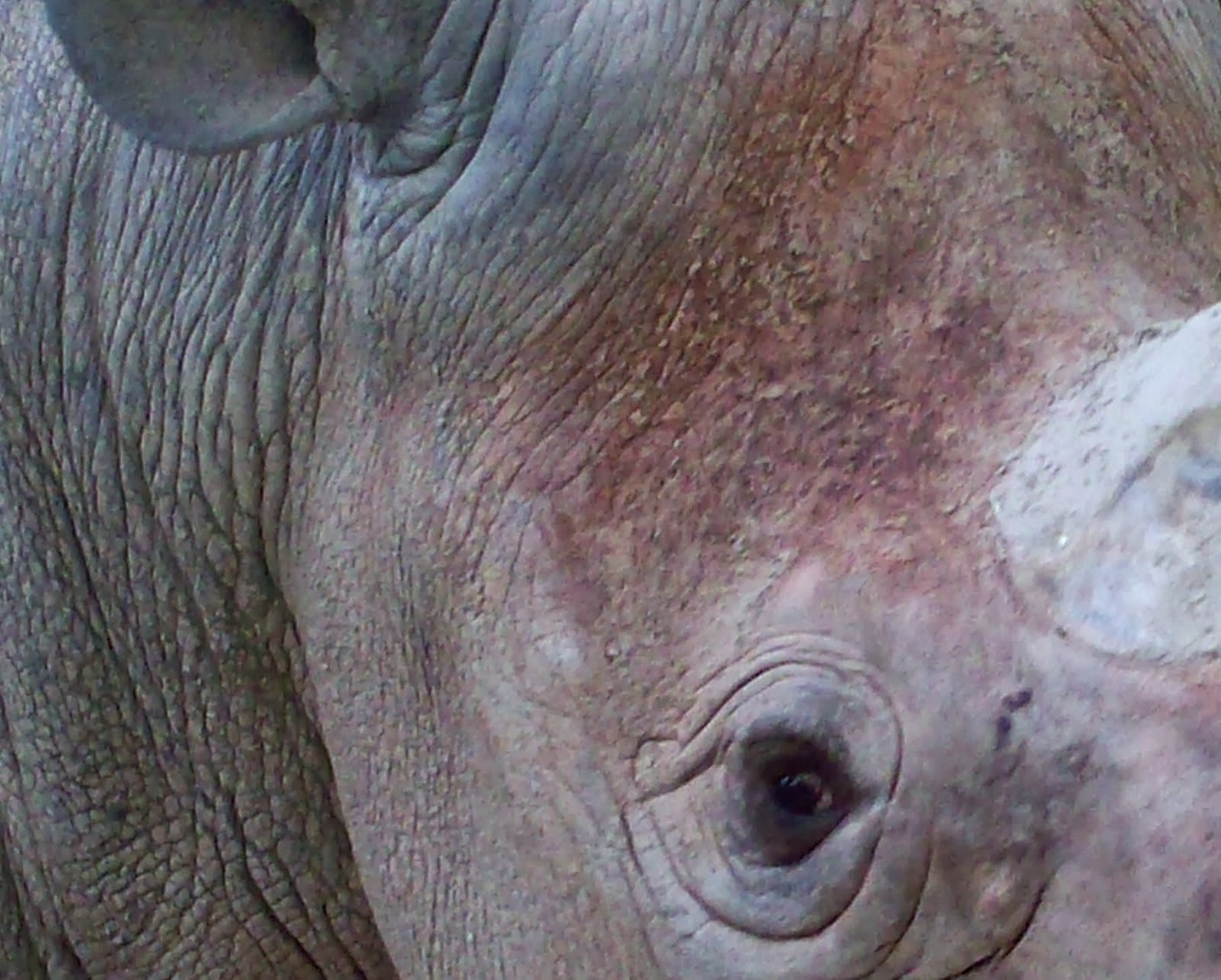 The Western Black Rhino has been declared officially extinct. 2013