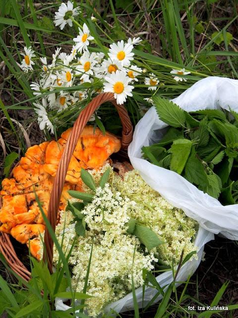 żółciaki siarkowe , kwiaty czarnego bzu , rośline jadalne , grzyby , grzybobranie
