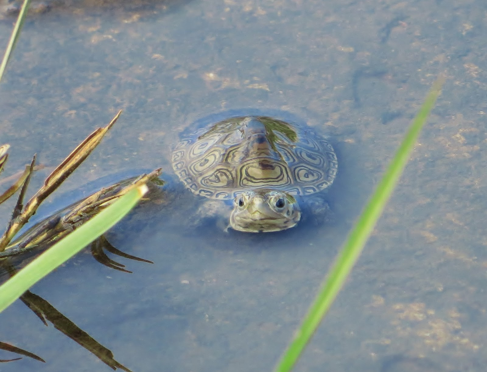 ... Edge of New York City: Baby Terrapins First Days in New York Harbor