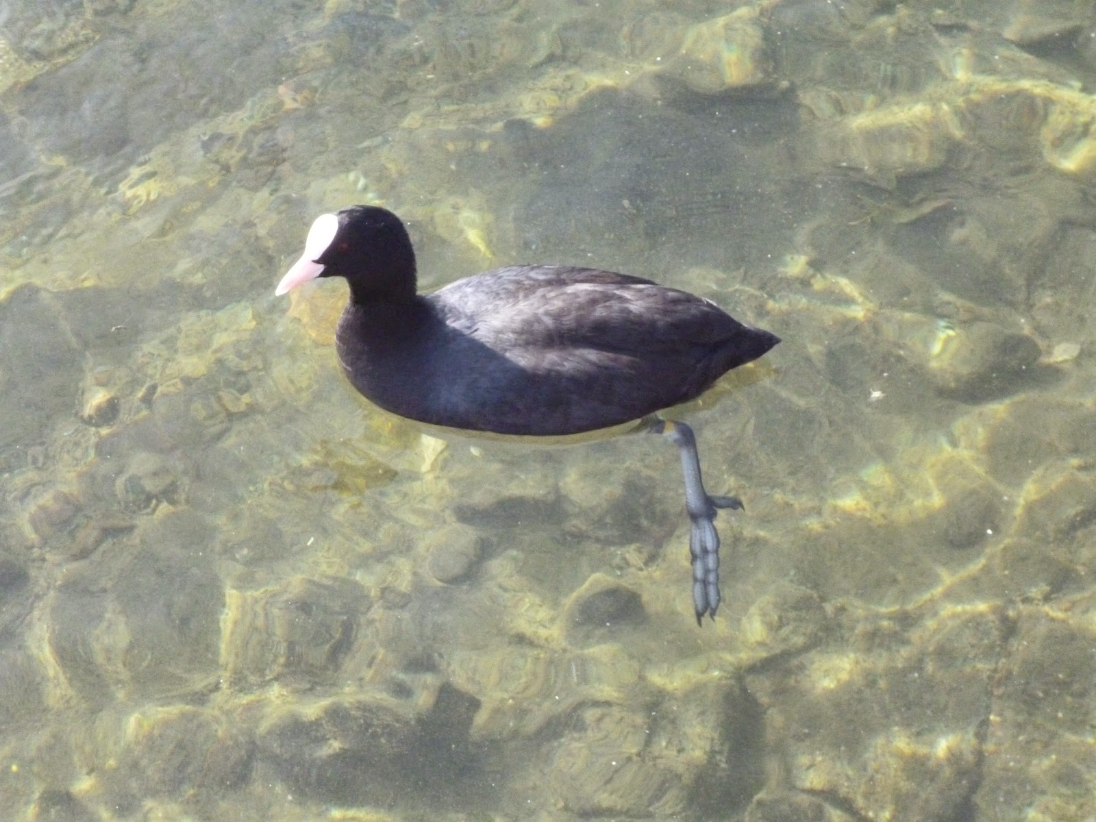 coot swimming on clear water