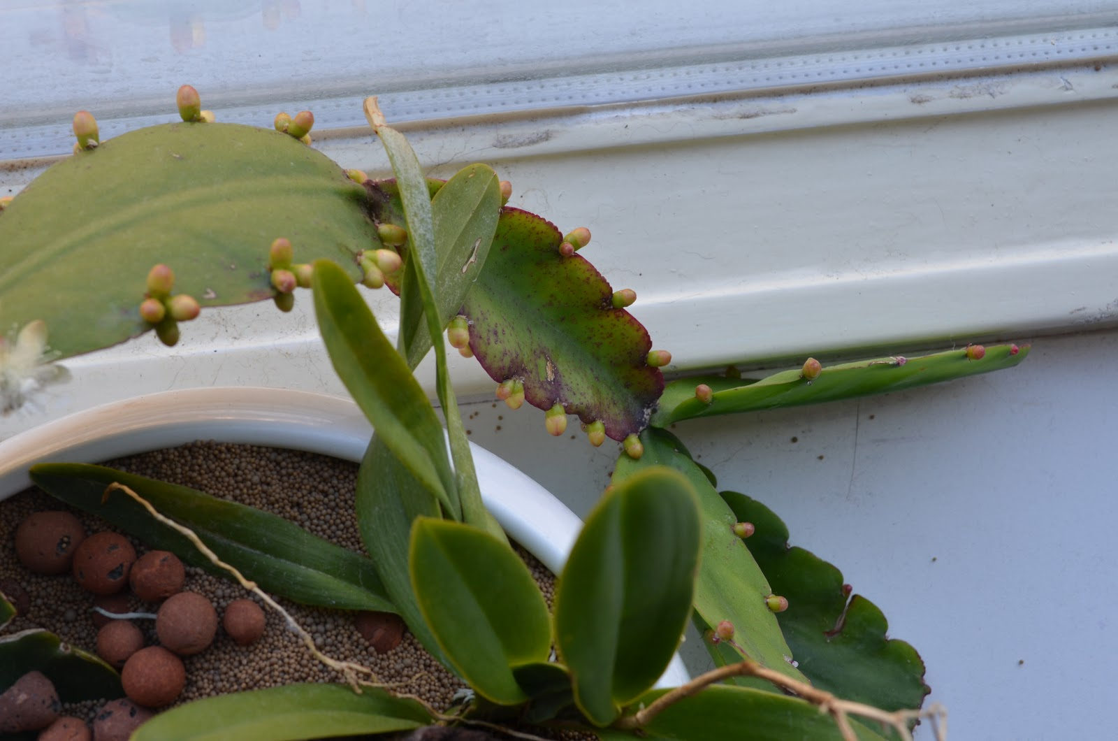 Rhipsalis Elliptica Fresh 2 x High Quality Leaf Cuttings cacti succulents plants