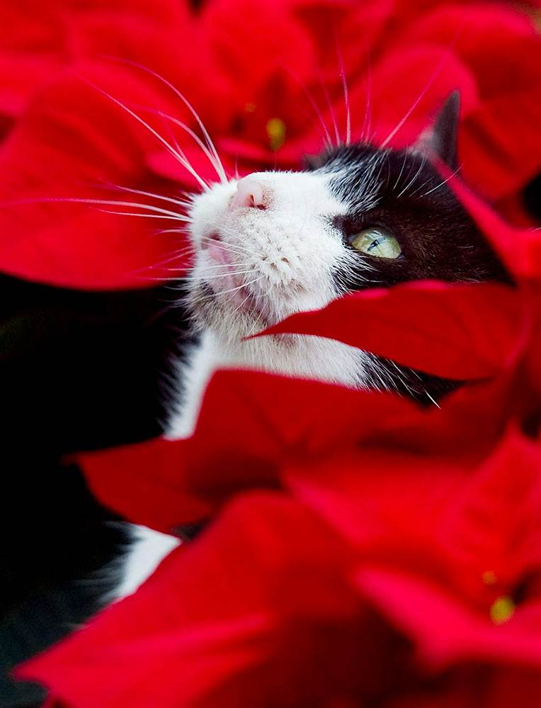 black and white cat in pointsettias - Are Christmas Cactus Poisonous To Cats