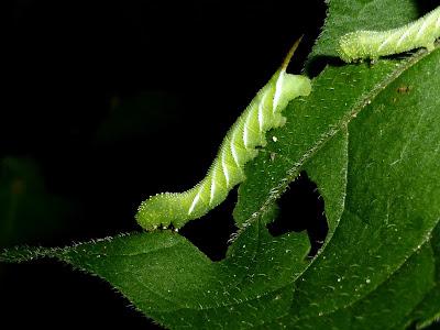 Manduca sexta caterpillar