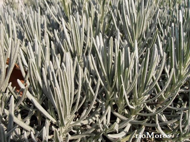 hojas de LAVANDA: Lavandula angustifolia