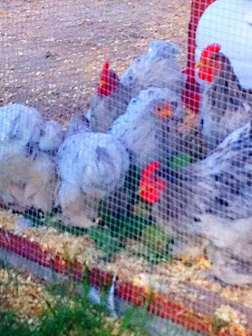 Our Bantam Chickens!