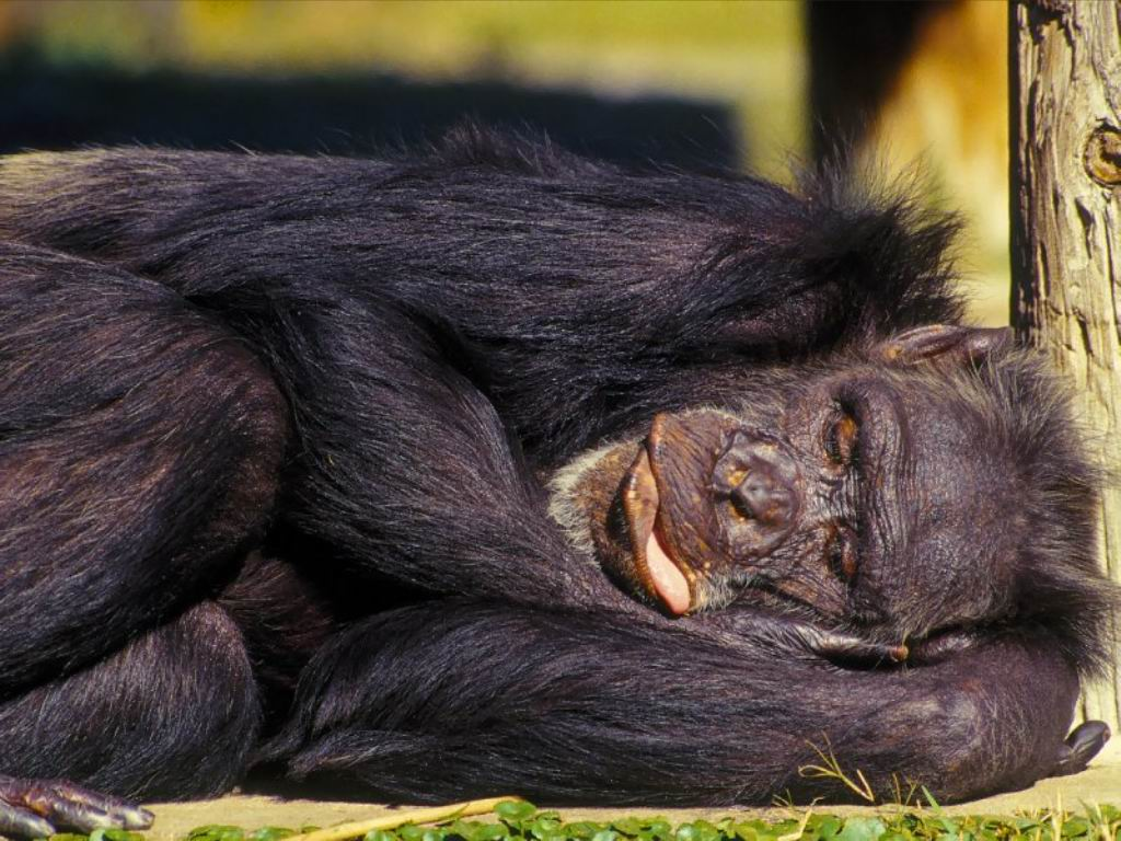 http://3.bp.blogspot.com/-BBuvHUE0lV4/T-6QwFkQbtI/AAAAAAAACns/ivmdrMEy7Ik/s1600/Monkey+Sleeping+Wallpapers.jpg