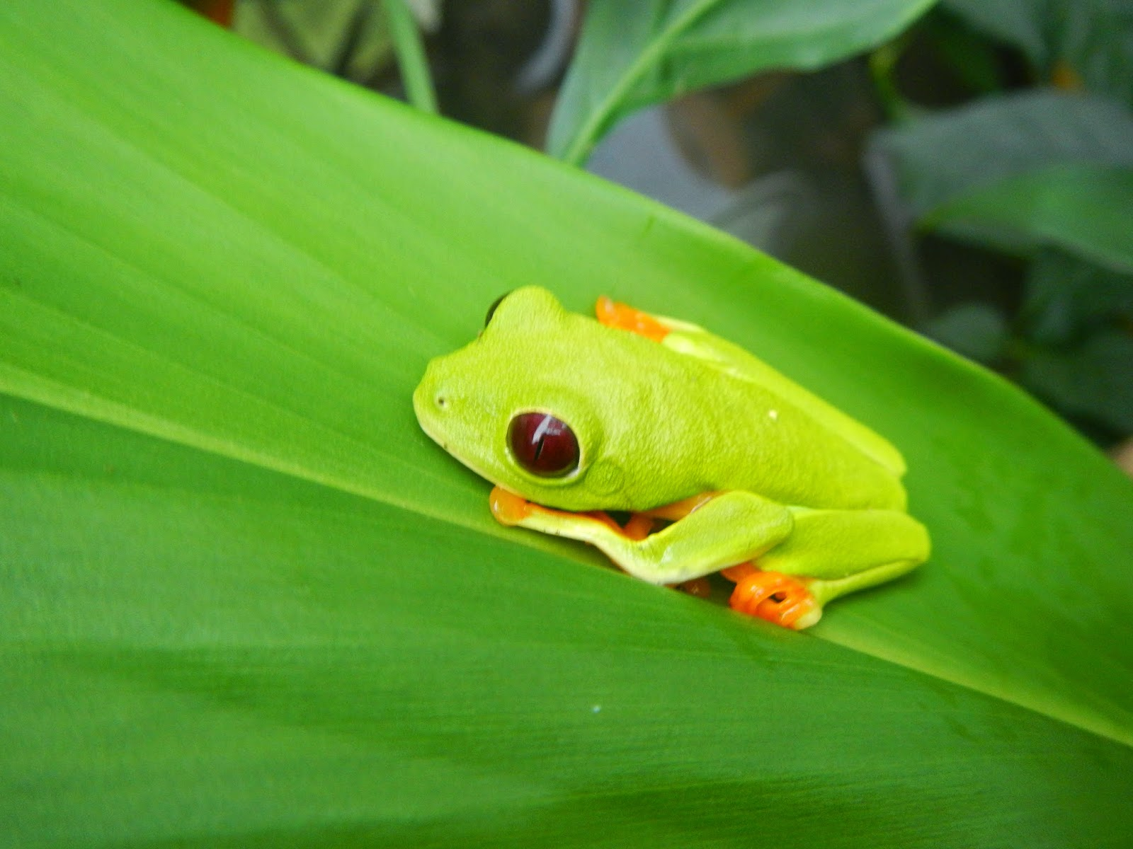 Our Herp Class: The Red-Eyed Tree Frog