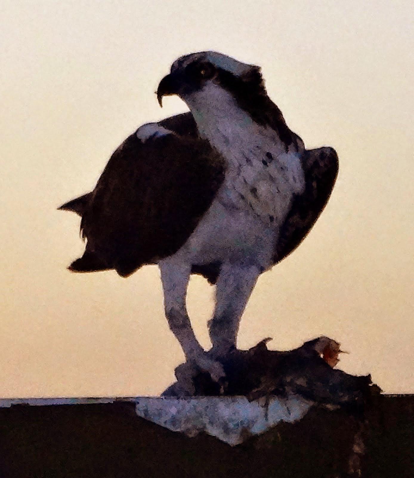 Un osprey, un vrai, de près à Marco Island, FL