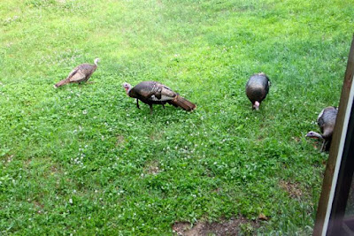 wild turkeys scratching for sunflower seeds dropped from feeders