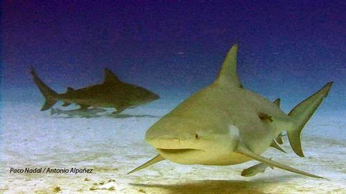 Tiburones toro en México