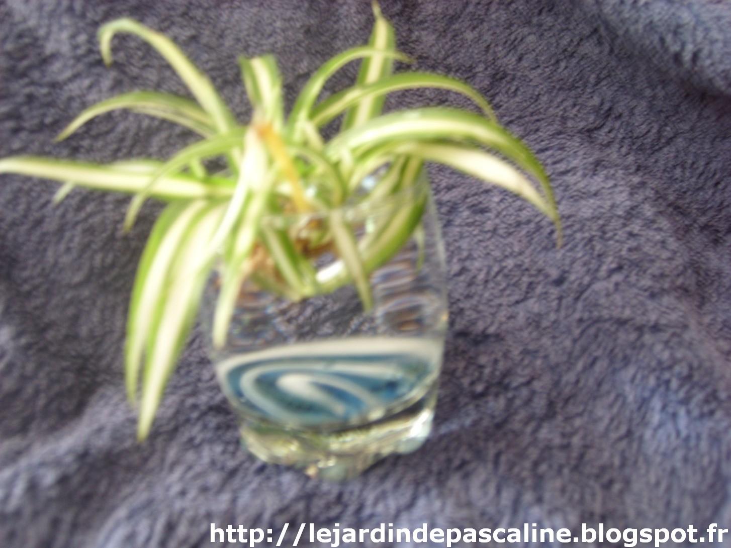 le jardin de pascaline bouture de chlorophytum. Black Bedroom Furniture Sets. Home Design Ideas