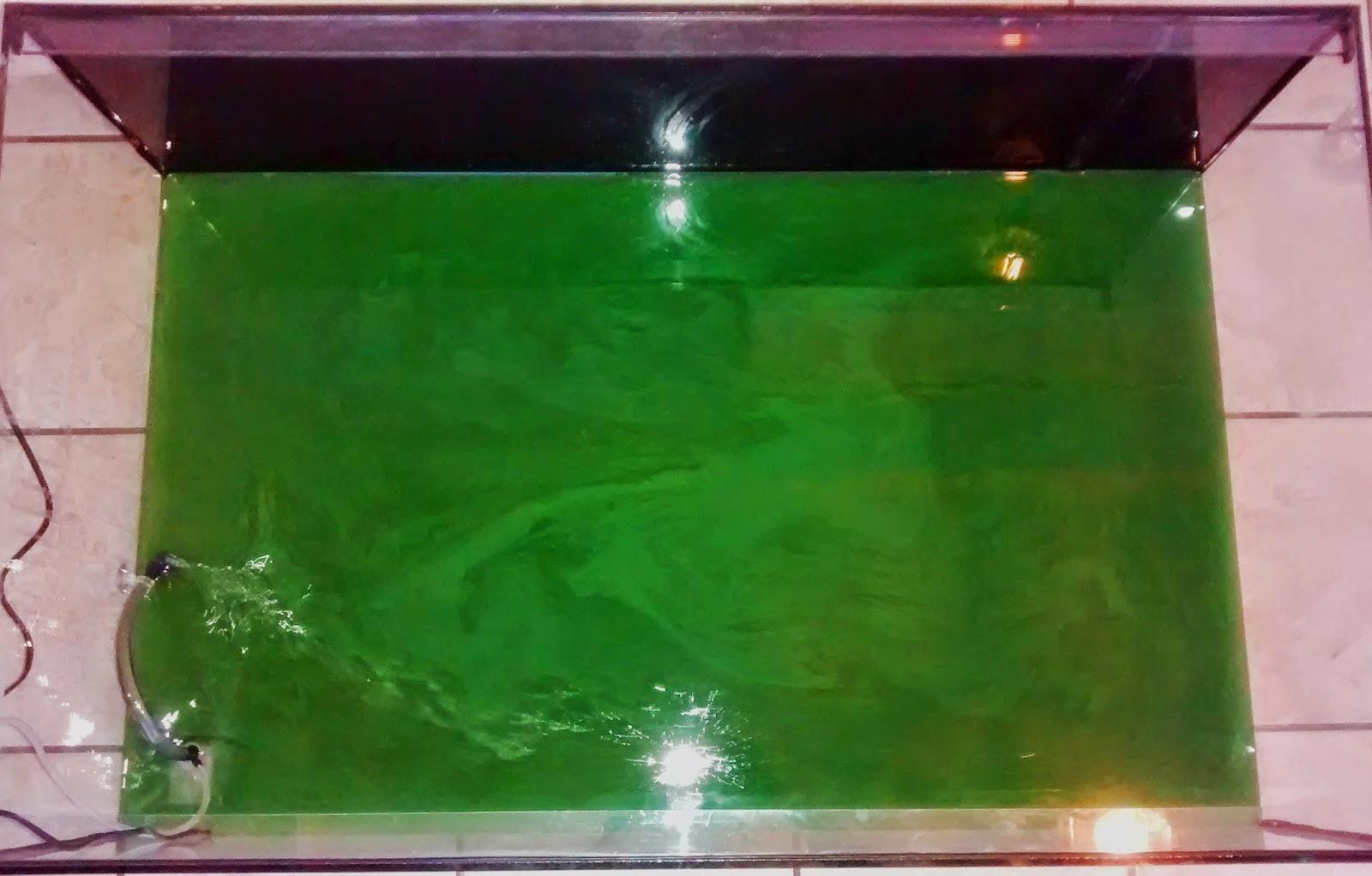 Mise-en-place-spiruline-en-aquarium