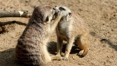 Animal love animals kiss merkats