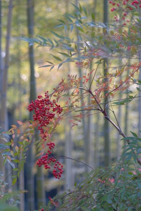 fructifications rouges de saison nandina domestica actualite du monde vegetal japonais. Black Bedroom Furniture Sets. Home Design Ideas