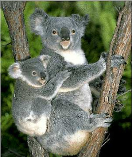 Koala | Animals Library