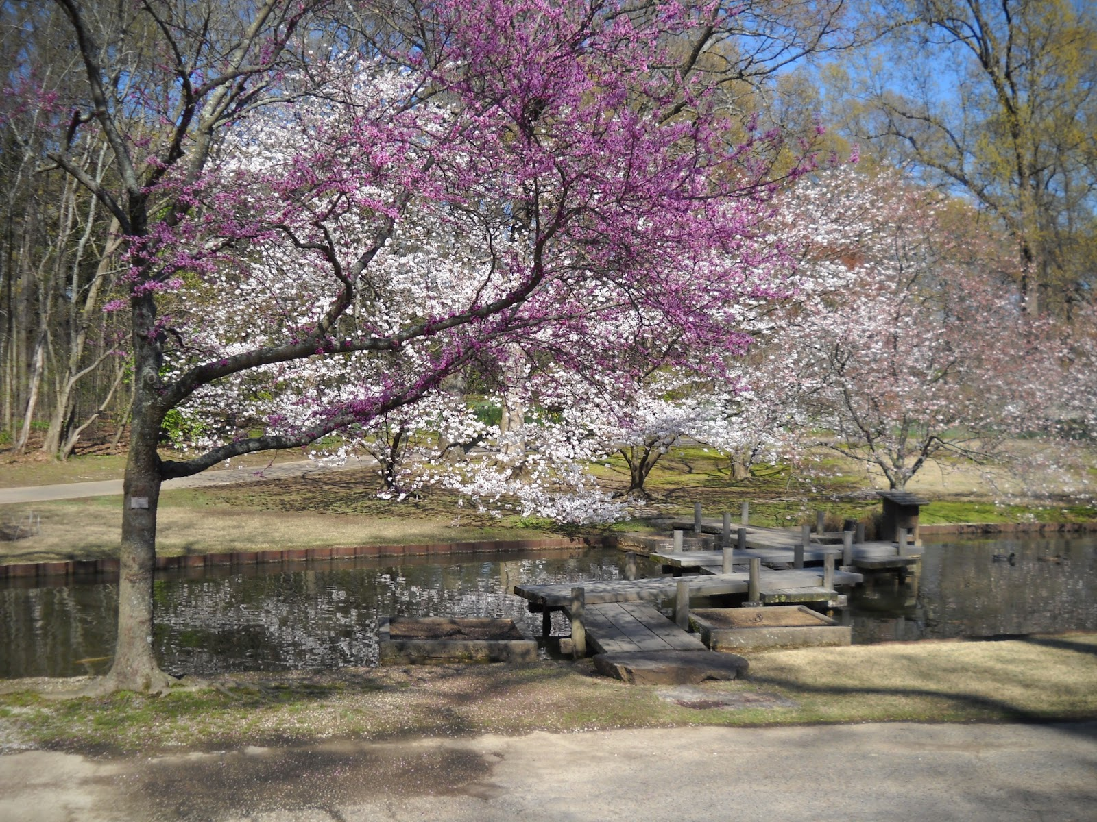 Divers and sundry redbuds and daffodils at the memphis for Garden trees memphis
