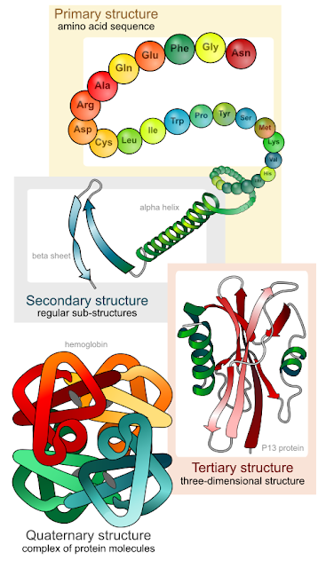 levels of proteing folding: primary structure, amino acid sequence; secondary structure, alpha helix and beta sheet; tertiary structure, three-dimensional structure; quaternary structure, complex of protein molecules
